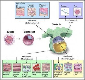 FORMATION OF SPECIALIZED CELLS