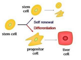STEM CELL 1
