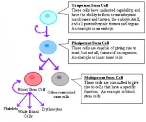 STEM CELL 3